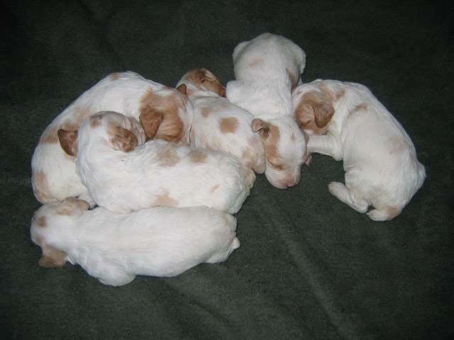 Ruffwood Spotty/Dora female Brittany puppies