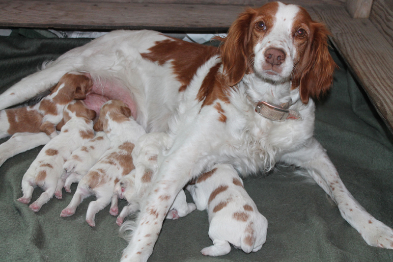Brittany Dogs For Sale Ontario