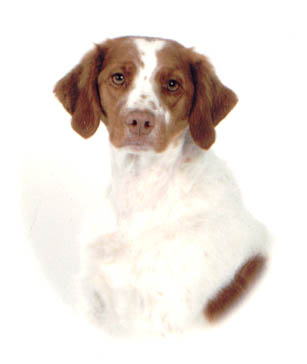 River, Brittany Spaniel sitting pretty