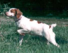 Sally is a natural backing Brittany Spaniel, as well as a stylish dog on point