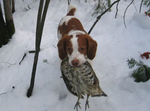 Brittany Storm retrieving a grouse